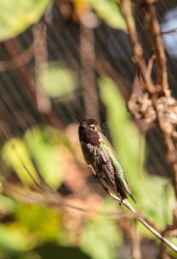 Male Annas Hummingbird Calypte anna. Male Annas Hummingbird, Calypte anna, is a green and red bird sitting in a tree at the San Joaquin wildlife sanctuary royalty free stock photos