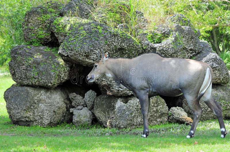 Download Male Antelope In a Zoo stock image. Image of nature, florida - 22482729
