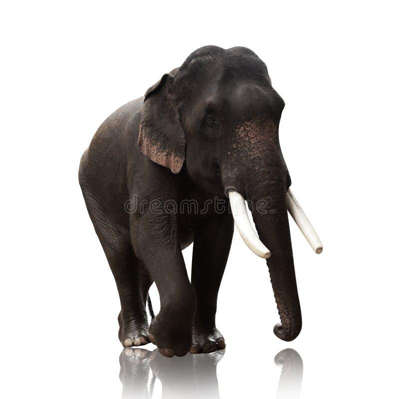 Male Asian elephants isolated on white background stock photo