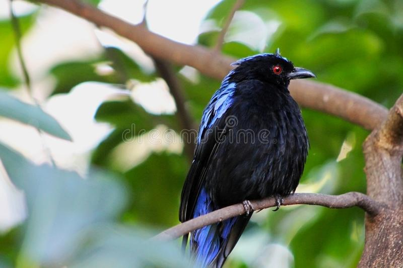 Asian fairy-bluebird, Irena puella. Male Asian fairy bluebird. The Asian fairy bluebird measures 24 to 27 centimetres 9.4 to 10.6 in in length. The iris is royalty free stock image