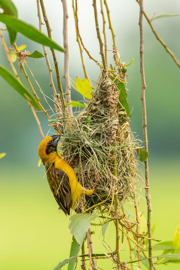 Male Asian Golden Weaver weaving its nest during spawning season royalty free stock images