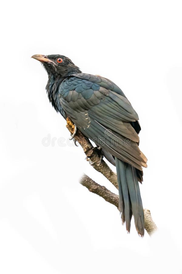 Male Asian Koel perching on a perch isolated on white background stock photography