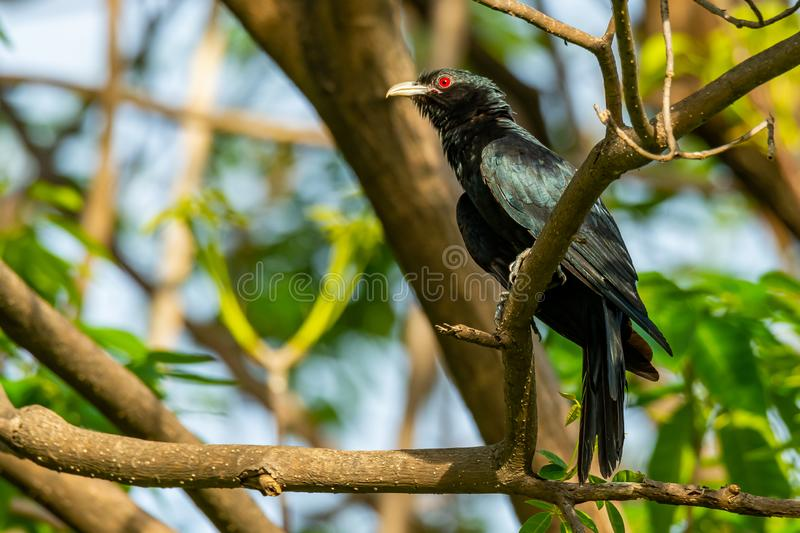 Male Asian Koel perching on a perch, looking into a distance stock photo