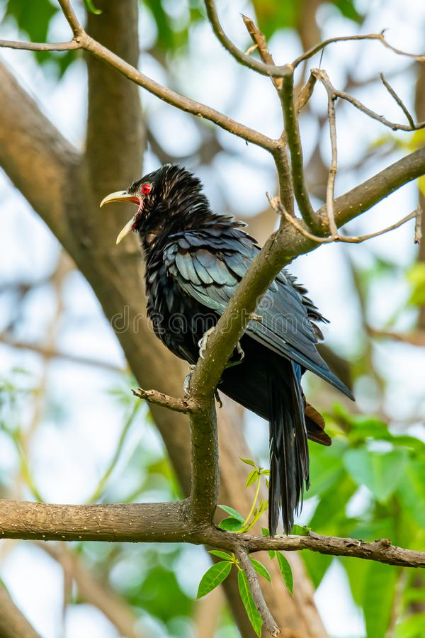 Male Asian Koel perching on a perch, opening its beak and puffing up its plumage. Bangkok, Thailand royalty free stock photography