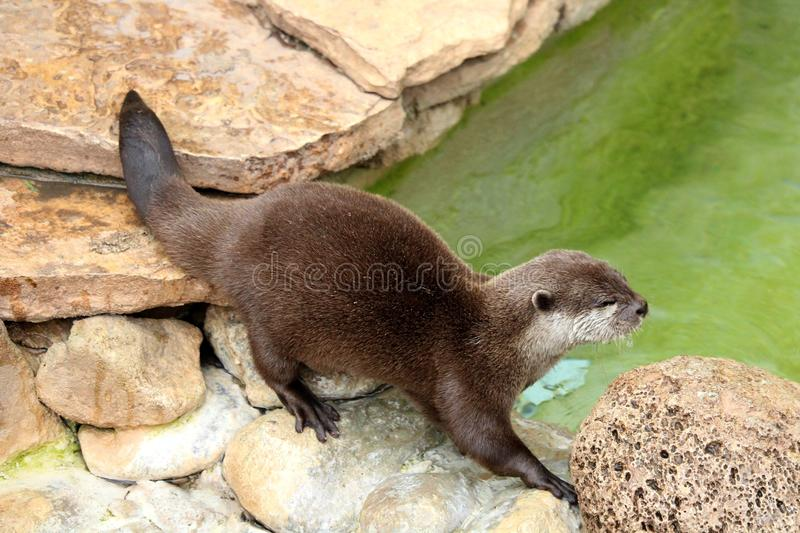 A male Asian Otter approaching the water searching for food. royalty free stock photography