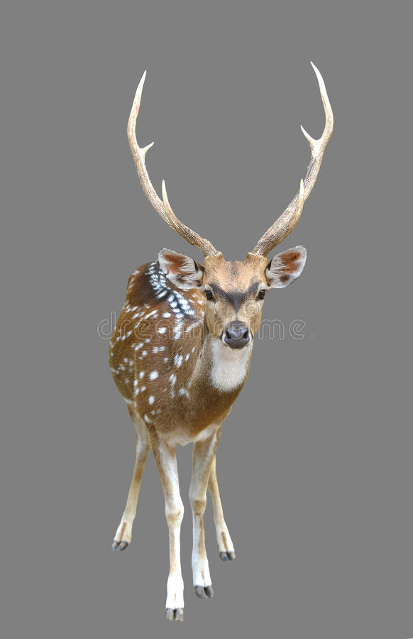 Free Male Axis Deer Or Chital Royalty Free Stock Photos - 42009678
