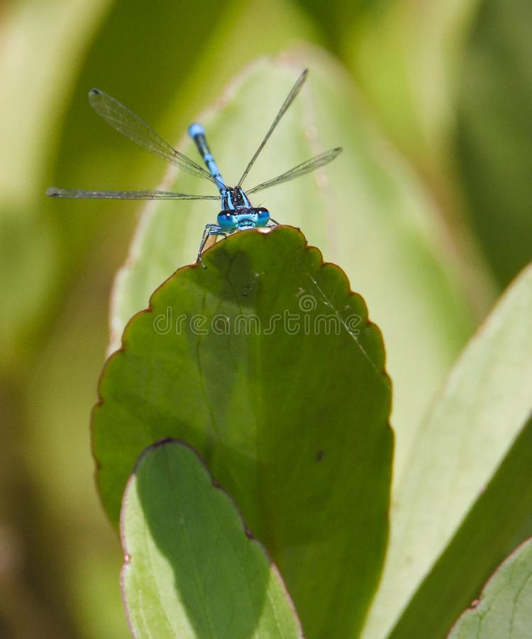 Male Azure Damselfly Resting On a Leaf stock photography