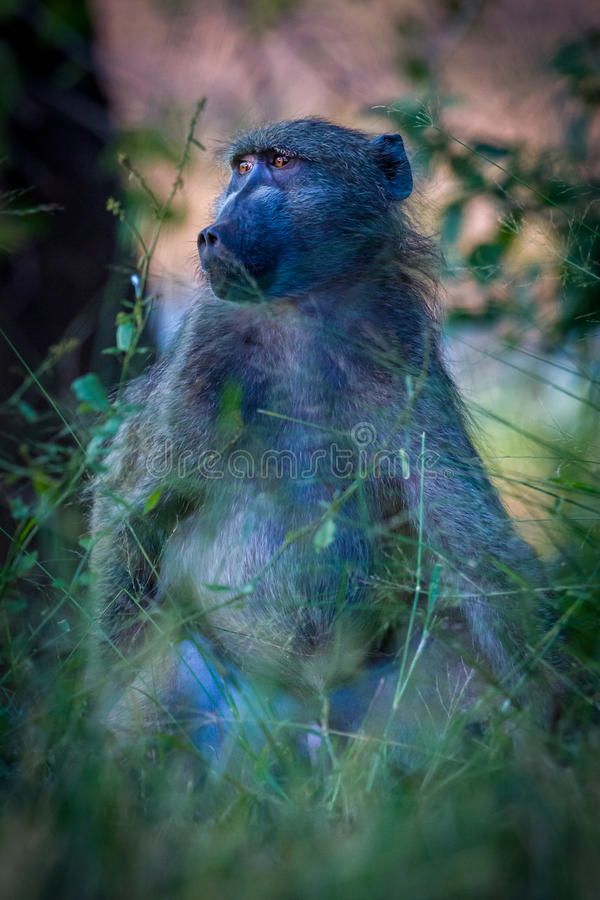 Male baboon, Kruger National Park in South Africa stock images