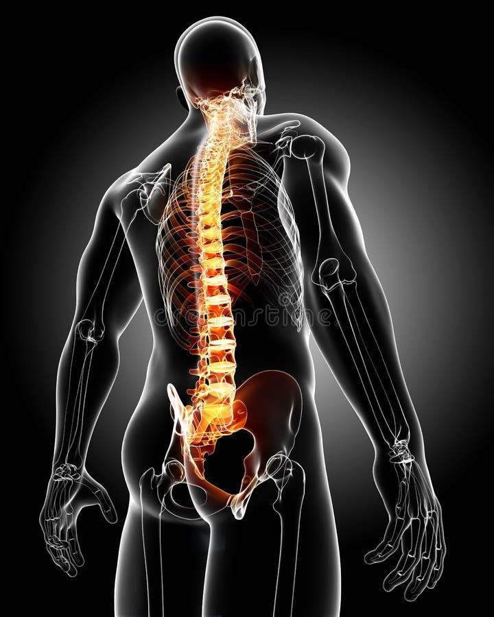 Male back anatomy vector illustration