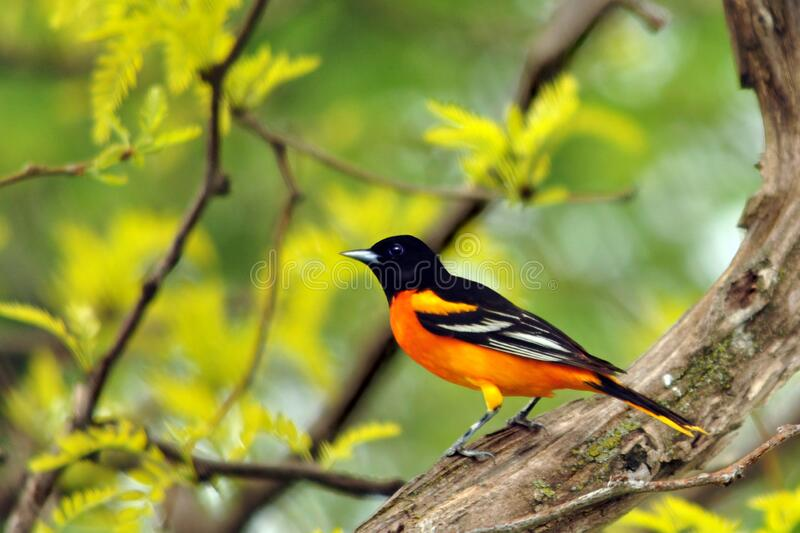 Male Baltimore Oriole in all His Glory royalty free stock photo