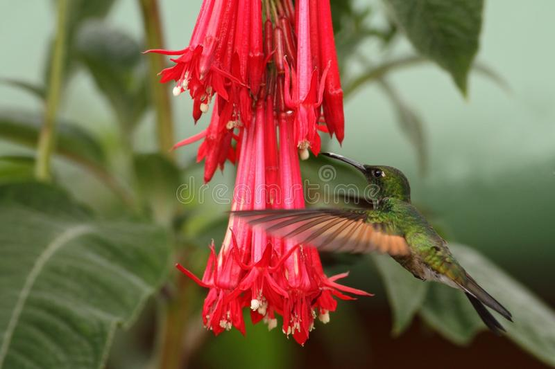 Band-tailed Barbthroat, Threnetes ruckeri, hovering next to red flower in garden, hummingbird mountain tropical forest, Costa Rica. Male of Band-tailed royalty free stock photography