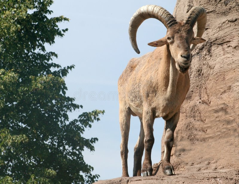 Download Male Barbary Sheep stock image. Image of power, goat, spiral - 234029
