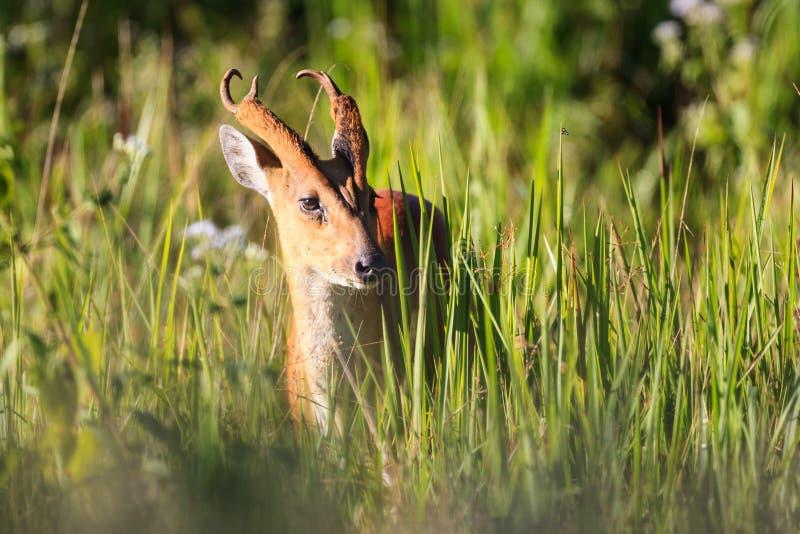 Male Barking Deer (Muntjacs or Mastreani deer) on the field stock photo