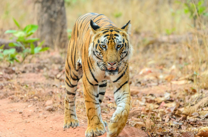 Male Bengal Tiger walk. Male Bengal tiger at Bandhavgarh National Park, India stock photo