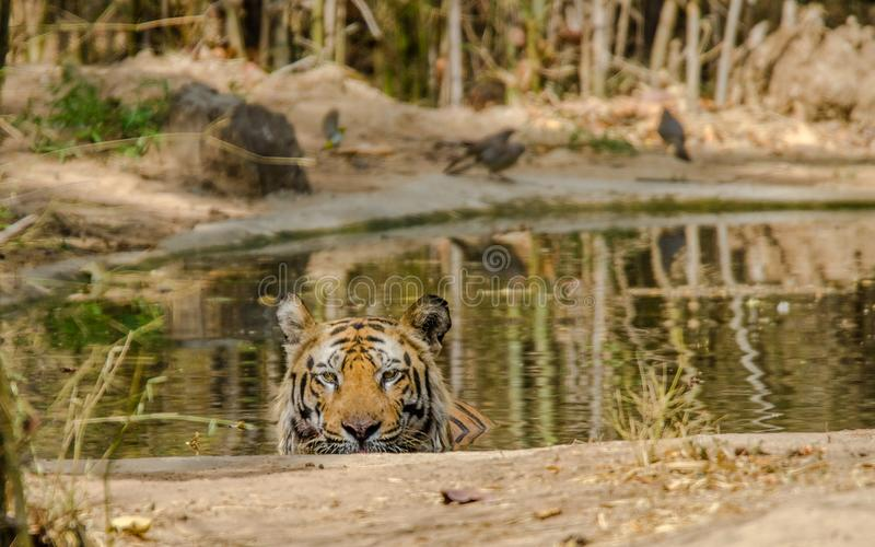 Male Bengal Tiger. At Bandhavgarh National Park, India enjoying summer in water pond royalty free stock image