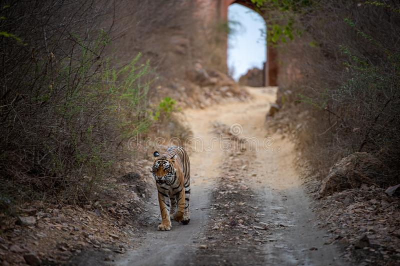 Wild Male bengal tiger from Ranthambore coming head on to our safari vehicle from historical gate in background. Male bengal tiger from Ranthambore coming head royalty free stock photography