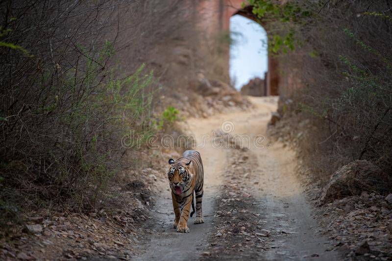 Wild Male bengal tiger from Ranthambore coming head on to our safari vehicle from historical gate in background. Male bengal tiger from Ranthambore coming head stock image