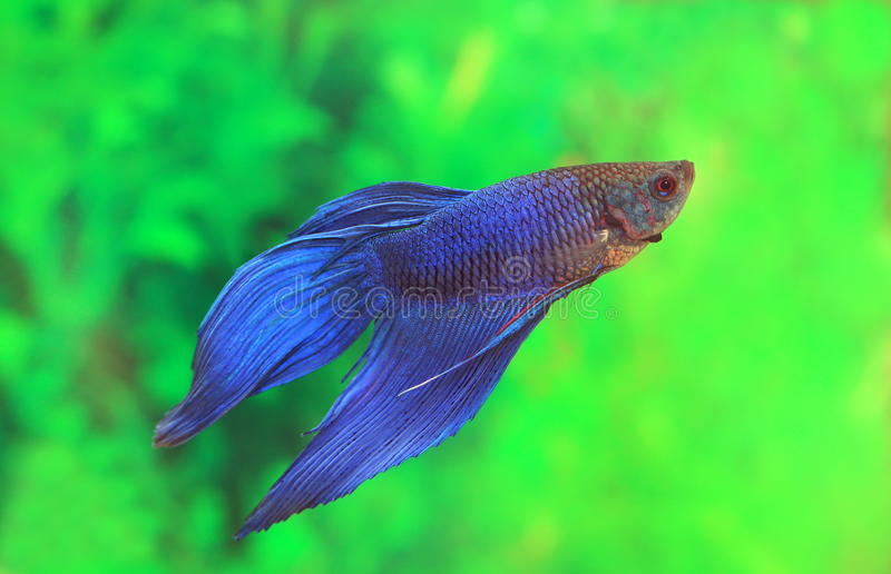 Male of Betta splendens of blue color stock photos