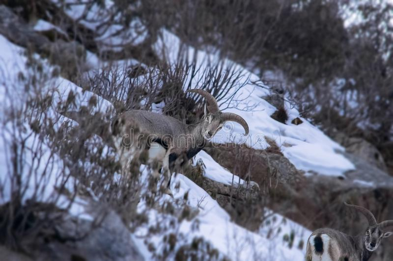 Male Bharal Pseudois nayaur also known as Himalayan Blue Sheep stock photography