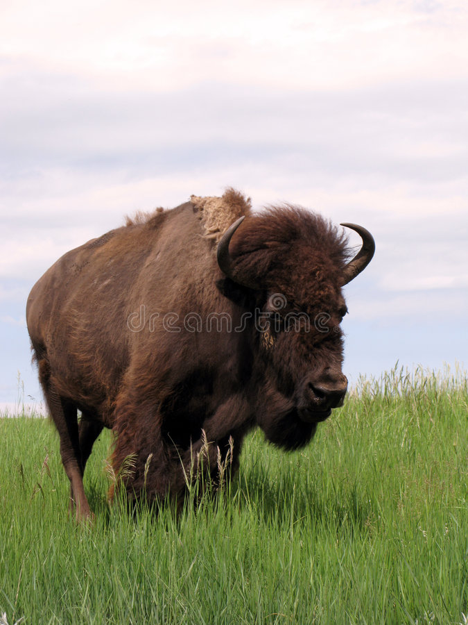 Free Male Bison Bull On The American West Prairie Grass Royalty Free Stock Images - 5513929
