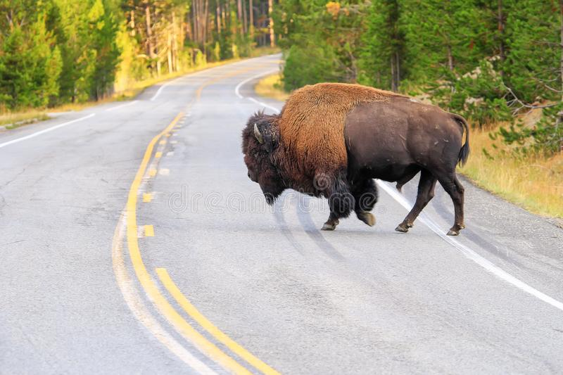 Male bison crossing road in Yellowstone National Park, Wyoming royalty free stock images