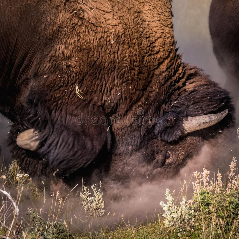 Free Male Bison Rubs Face In Dirt Stock Photos - 99360953