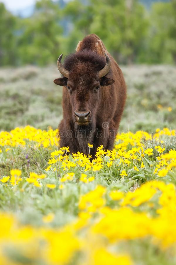 Free Male Bison Standing In The Field With Flowers, Yellowstone National Park, Wyoming Stock Photos - 149788113