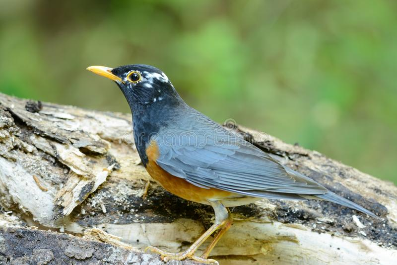 Male Black-breasted Thrush (Turdus dissimilis). Beautiful male Black-breasted Thrush (Turdus dissimilis) in Thailand stock photo
