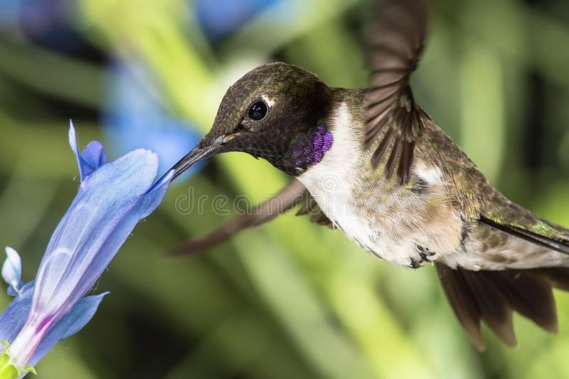Black-Chinned Hummingbird Searching for Nectar Among the Blue Flowers stock images