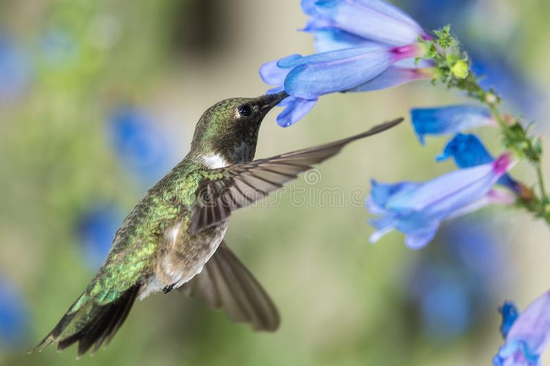 Black-Chinned Hummingbird Searching for Nectar Among the Blue Flowers stock photos
