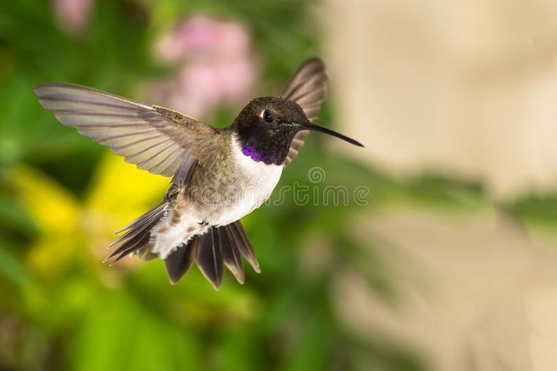 Black-Chinned Hummingbird Searching for Nectar in the Green Garden royalty free stock images