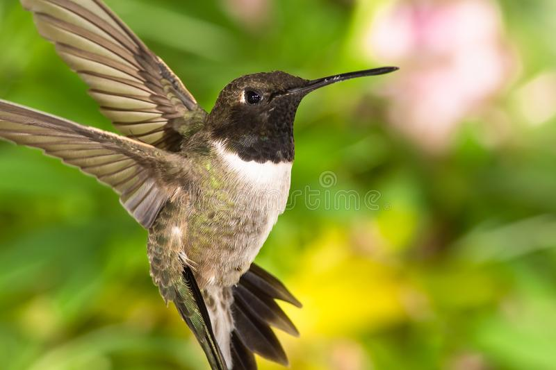 Black-Chinned Hummingbird Searching for Nectar in the Green Garden royalty free stock image
