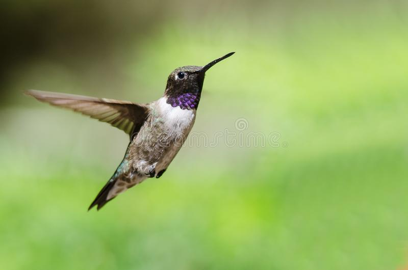 Black-Chinned Hummingbird with Throat Aglow While Hovering in Flight. Male Black-Chinned Hummingbird with Throat Aglow While Hovering in Flight royalty free stock photos