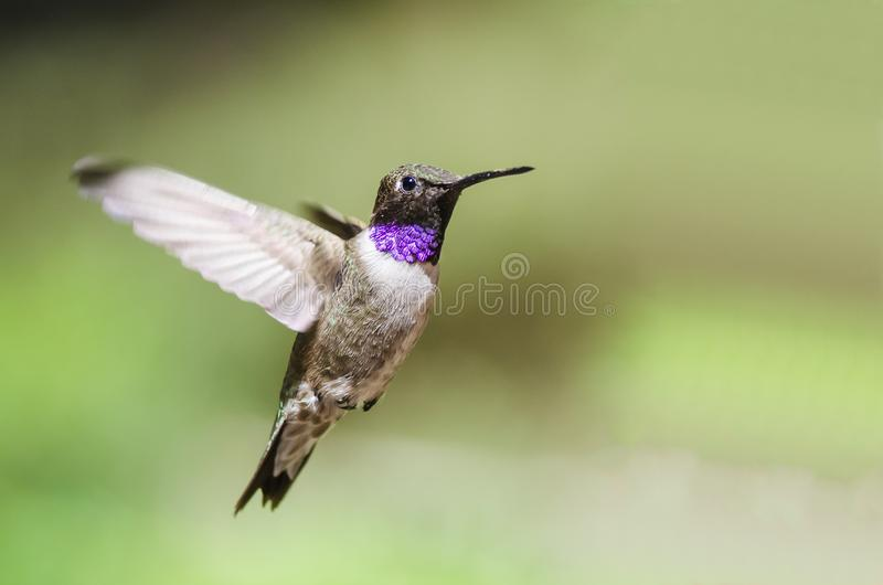 Black-Chinned Hummingbird with Throat Aglow While Hovering in Flight. Male Black-Chinned Hummingbird with Throat Aglow While Hovering in Flight royalty free stock images