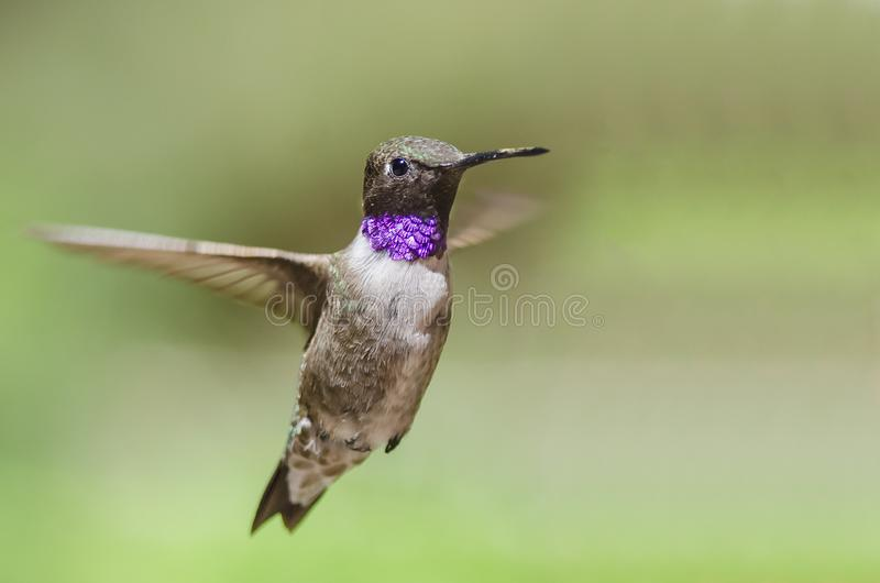 Black-Chinned Hummingbird with Throat Aglow While Hovering in Flight. Male Black-Chinned Hummingbird with Throat Aglow While Hovering in Flight stock images