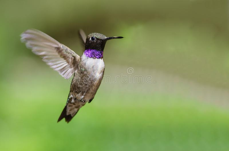 Black-Chinned Hummingbird with Throat Aglow While Hovering in Flight. Male Black-Chinned Hummingbird with Throat Aglow While Hovering in Flight royalty free stock image