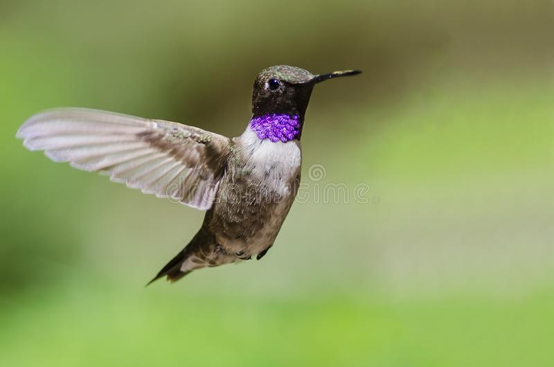 Black-Chinned Hummingbird with Throat Aglow While Hovering in Flight. Male Black-Chinned Hummingbird with Throat Aglow While Hovering in Flight royalty free stock photo