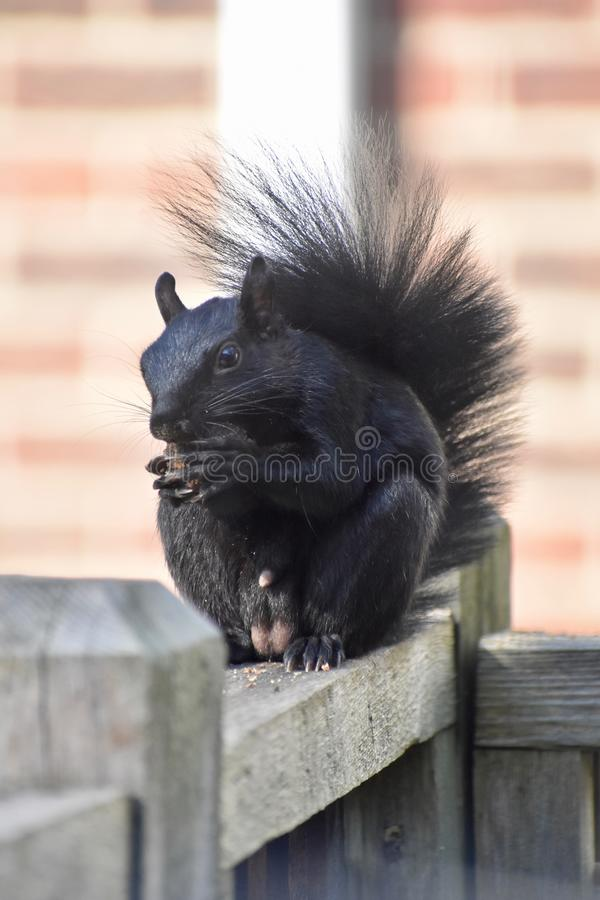 Male black squirrel on a wood fence eating a nut stock photos