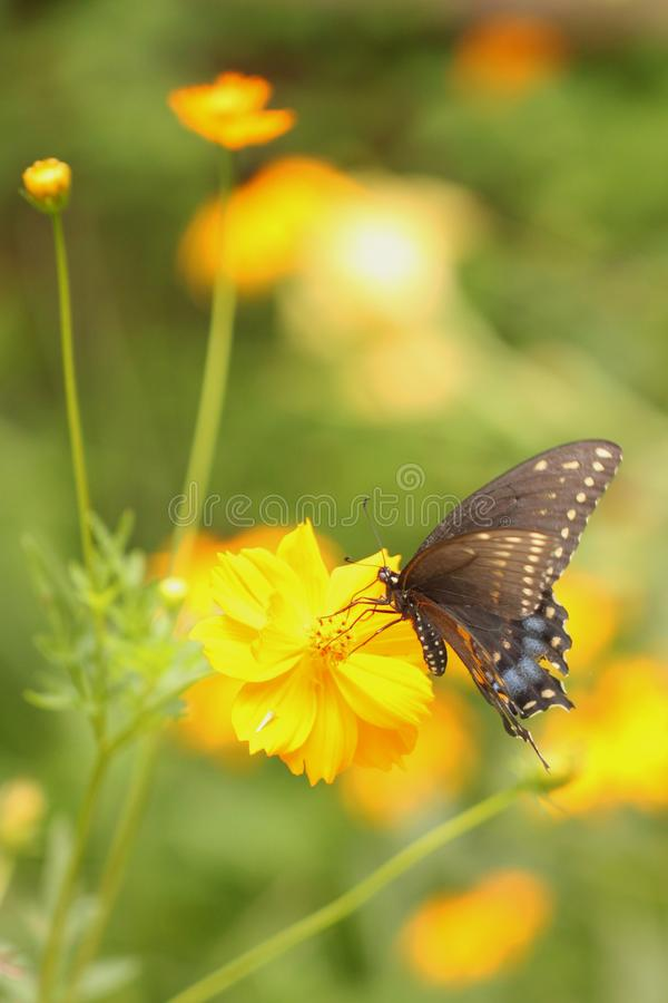 Male Black Swallowtail Butterfly with tattered wings royalty free stock images