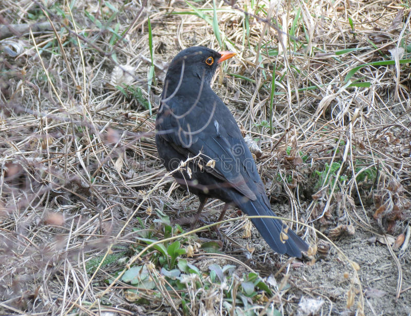 Male blackbird closeup royalty free stock images