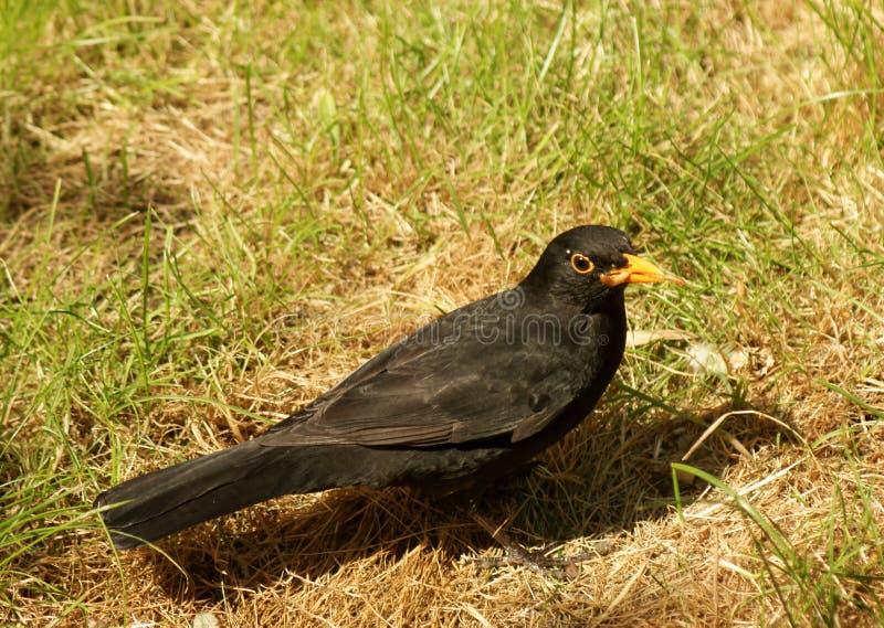 Download Male Blackbird Feeding Royalty Free Stock Photos - Image: 19388828