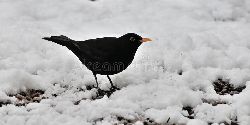 Male Blackbird in the snow. A male Blackbird searching for dropped seeds in my urban back garden stock image