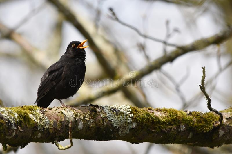 Blackbird Singing in a Tree. A male blackbird - Turdus merula - in full song, yellow beak open perched in a tree in the UK stock image