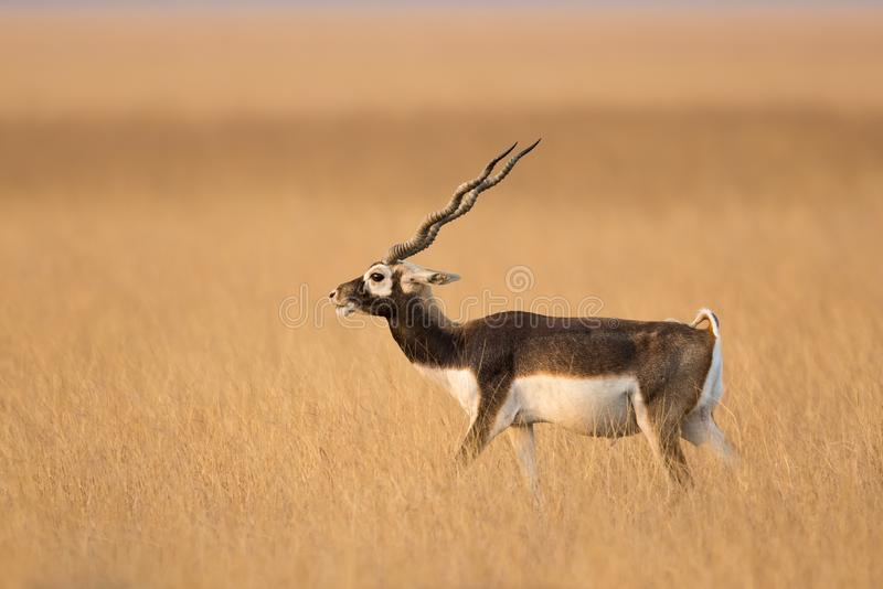 Male Blackbuck in dry grassland royalty free stock photos