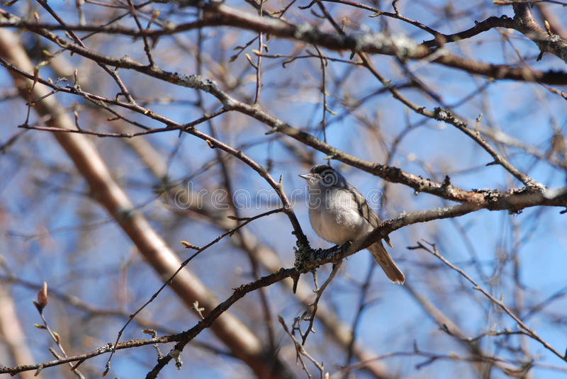 Male blackcap. Black-capped Warbler on a branch in spring stock images