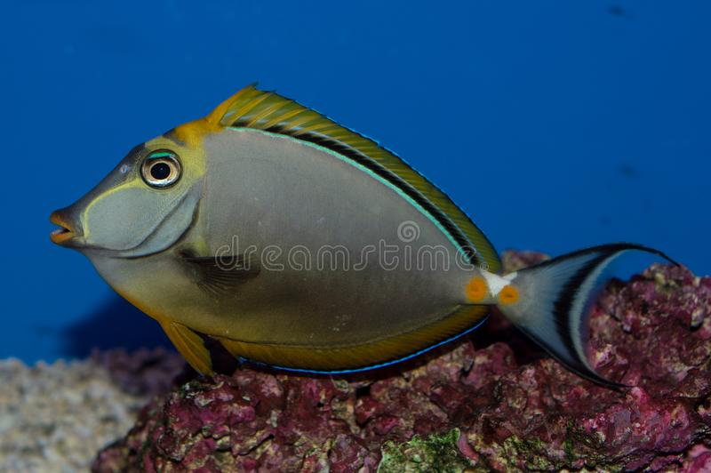 Male Blonde Naso Tang. The Blonde Naso Tang, also known as the Orange-spine Unicornfish, darkens with maturity. Naso elegans royalty free stock photos