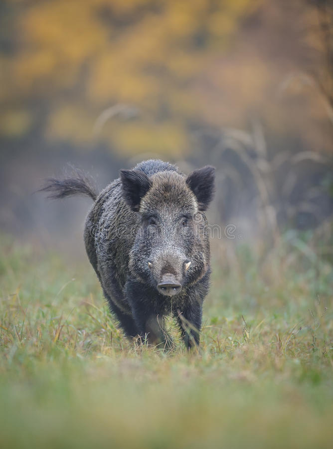 Male boar on the run. A male wild boar charges away from danger royalty free stock images
