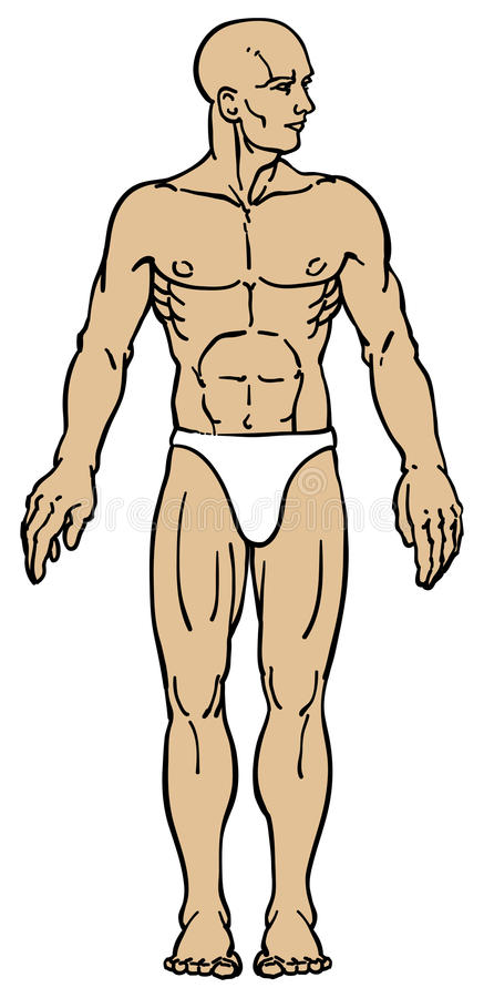 Download Male Body Anatomy stock vector. Image of front, arms - 19636141