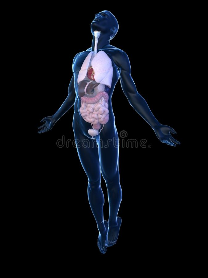 Download Male body rising stock illustration. Image of liver, stomach - 15435073