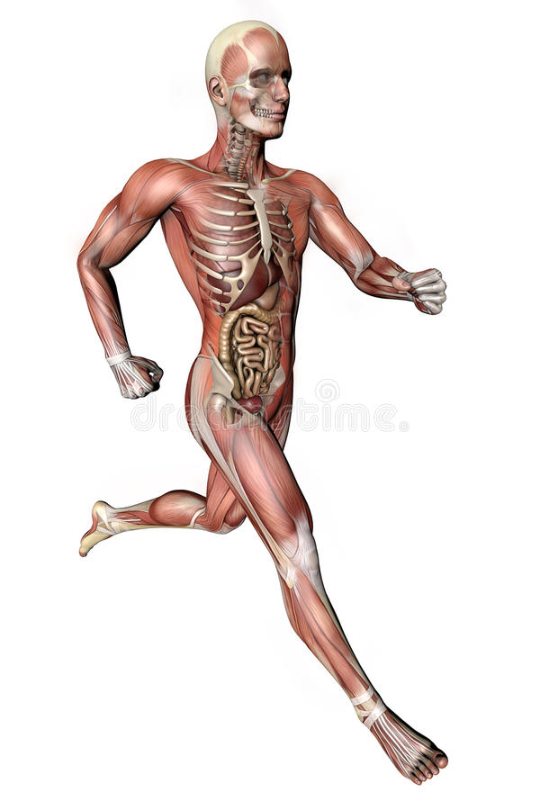 Male Body With Skeletal Muscles And Organs Stock Illustration ...